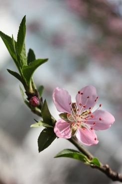 peach blossom cherry blossom spring