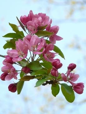 peach tree peach tree blossom bloom