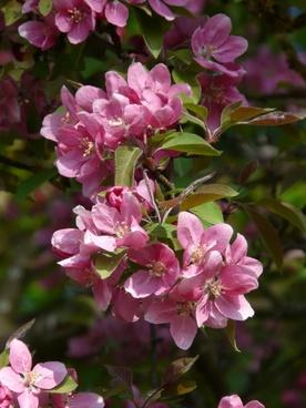 peach tree peach-tree blossom bloom
