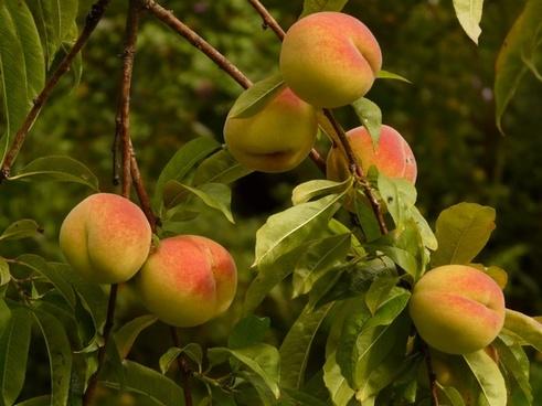 peaches peach tree malum persicum