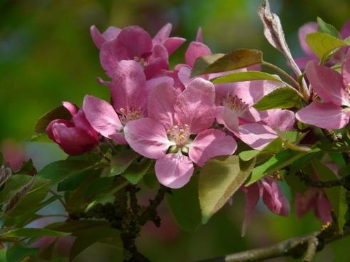 peach-tree blossom peach tree bloom