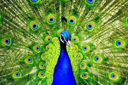 peacock closeup picture