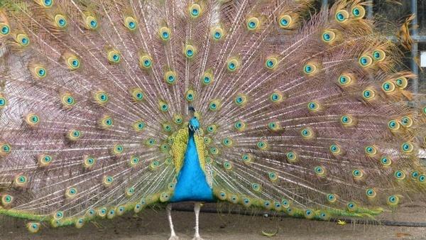 peacock wheel color