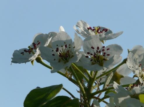 pear blossom pear flower