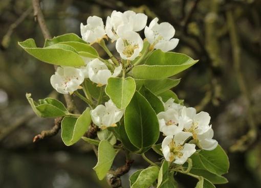 pear blossom white tender