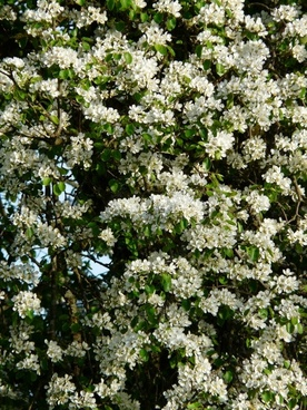 pear flowers white