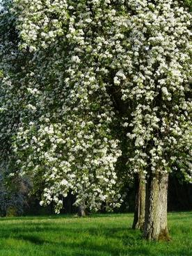 pear pear blossom flower