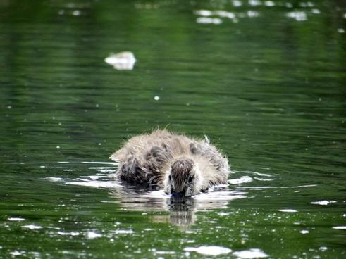 peekaboo duckling