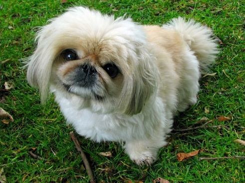 pekingese dog pet