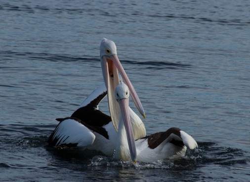 pelican couple happy
