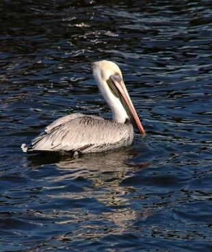 pelican floating on water
