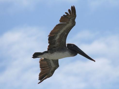 pelican flying overhead