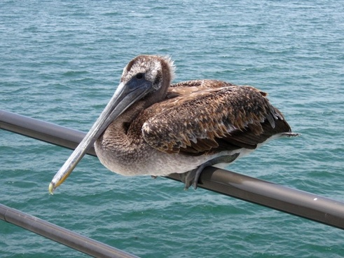 pelican perched on a pier railing