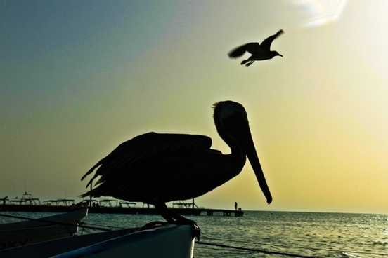 pelican silhouette bird