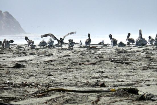 pelican water bird birds