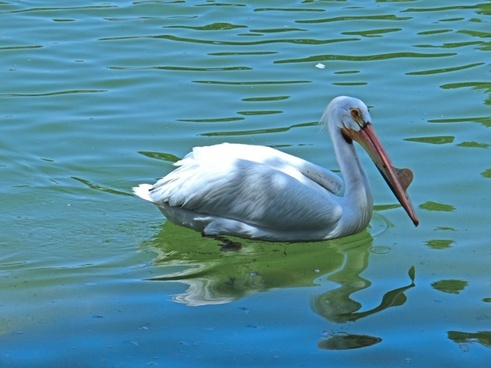 pelican zoo swimming