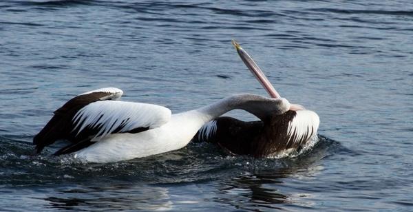 pelicans animal water