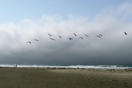 pelicans birds nature