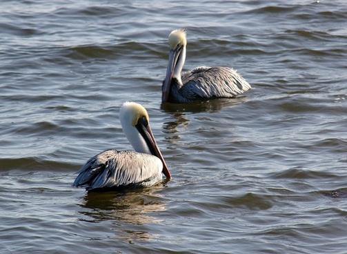 pelicans birds ocean