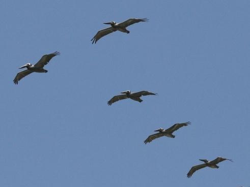 pelicans flying overhead
