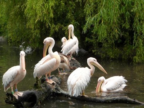 pelicans waterfowl birds