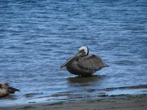 pelikan water more