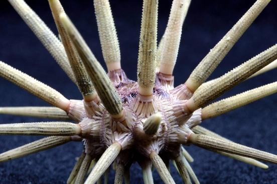 pencil urchin sea life ocean