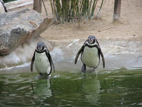 penguins go for a swim