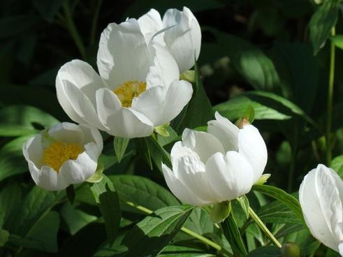 peonies flowers white