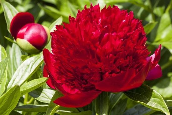 peony flower nature