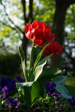 peony in springtime