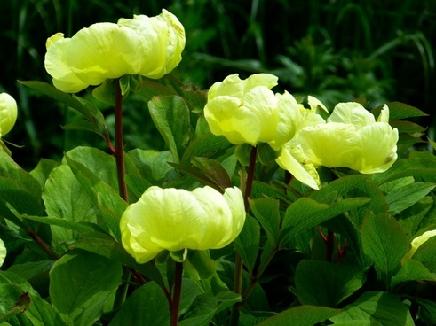 peony yellow flower