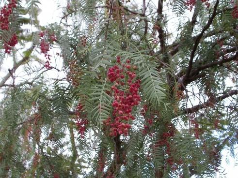 pepper tree seeds