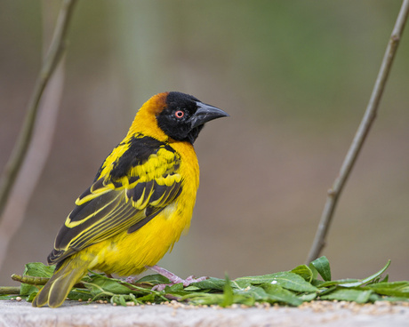 perched weaver bird