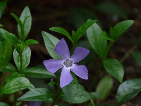 periwinkle flower plant