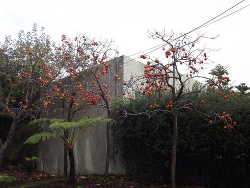 persimmon trees berkeley