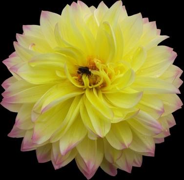 pet flower yellow