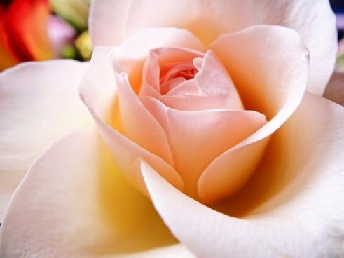 petal flower rose