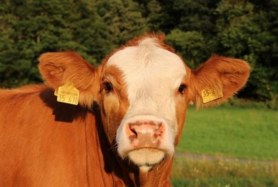 pets cow cows