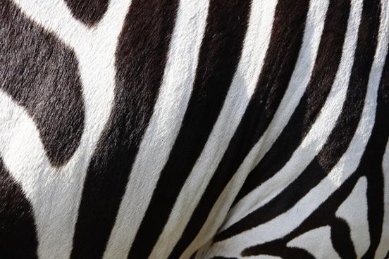 pets zebra zebra crossing
