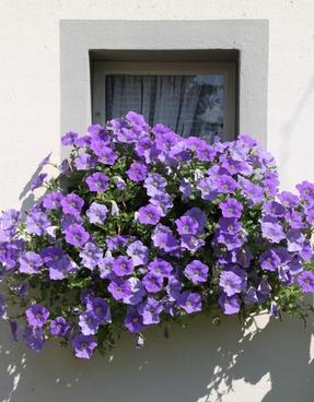petunia balcony plants ornamental plant