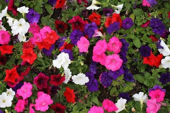 petunia blooms background