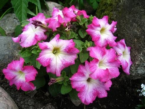 petunia pink colors