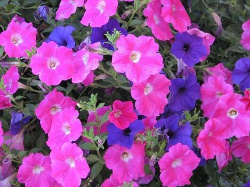 petunias pink purple