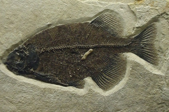 phareodus sp