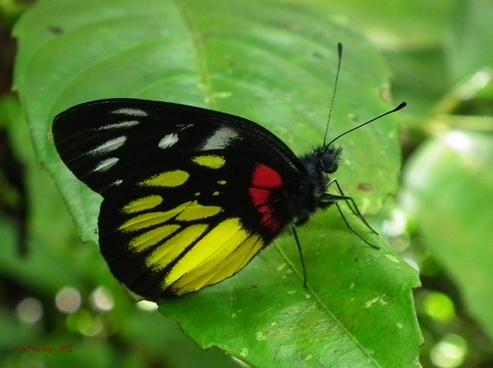 philippine butterfly