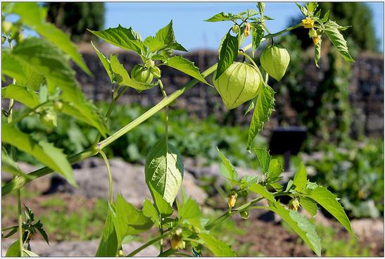 physalis isocarpa o tomatito verde