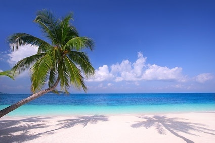 picture of the sandy beach coconut treess