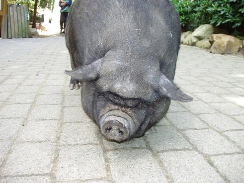 pig dwarf hausschwein
