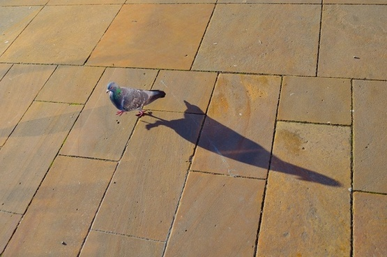 pigeon and his shadow